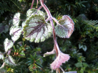 Lamium in frost S at Veddw copyright Anne Wareham