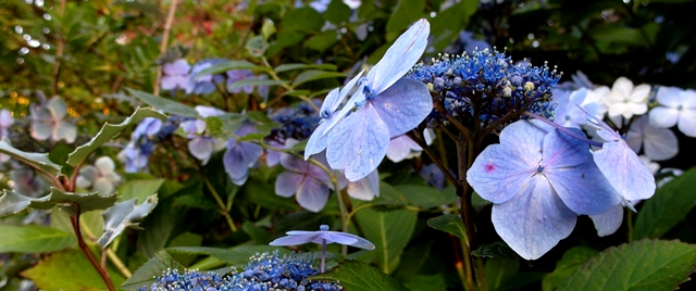 Hydrangea Blue Wave at veddw copyright Anne Wareham SAM_4268