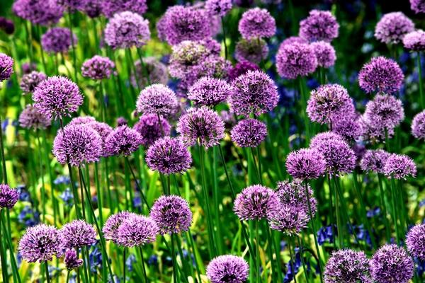 Allium Purple Sensation at Veddw, copyright Charles Hawes