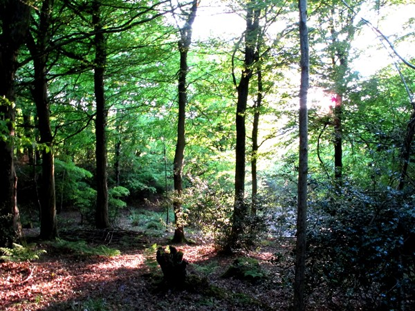evening sun through trees in woods at Veddw Copyright Anne Wareham