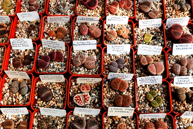 Collection of Lithops from private collection of Barry Reid of Barrington copyright Charles Hawes Hill Nursery