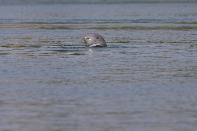 An orcaella brevirostris, or Irrawaddy Dolphin (photo by karma-police)