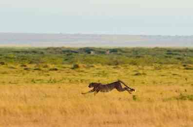 Cheetah - Amboseli, Kenya