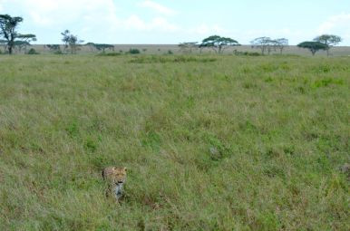 Leopard - Serengeti, Tanzania