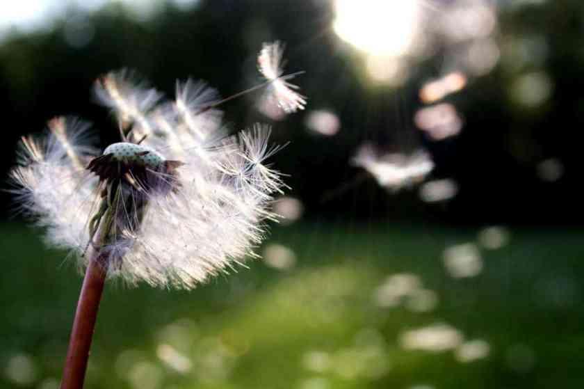 blowball dandelion dandelion seed 54300_result