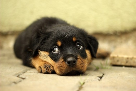 just remember a few thing about rottweiler puppies