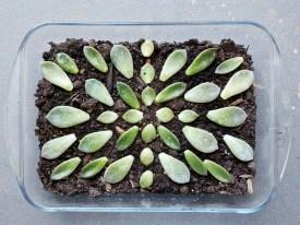 Succulent Mandala #1
