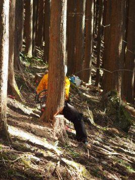 Cutting rotten tree