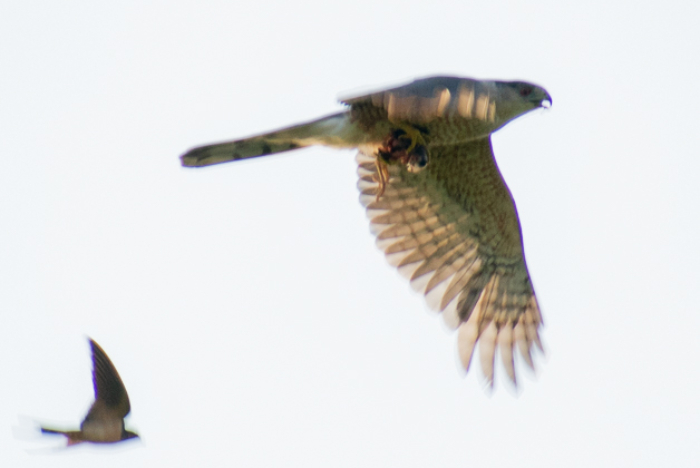 Cooper's Hawk being chased off by a swallow