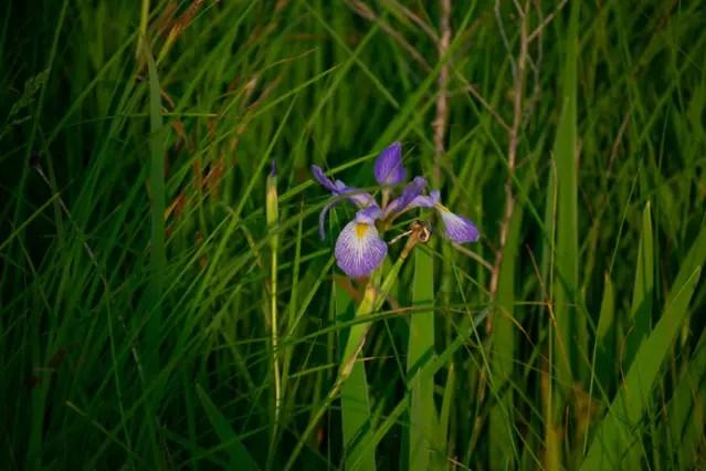 Iris versicolor, Blue Flag Iris