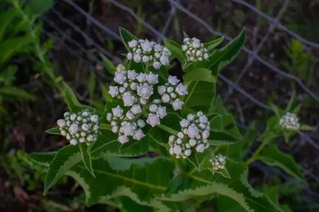 Parthenium integrifolium, Wild Quinine