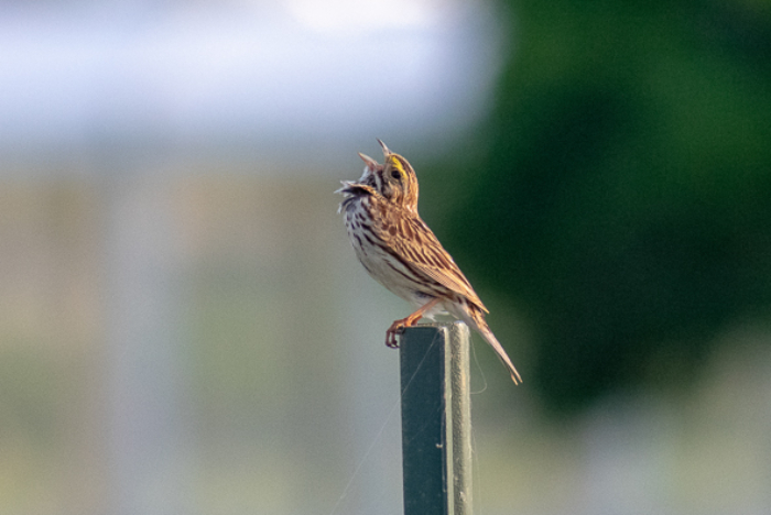 Singing Savanna Sparrow