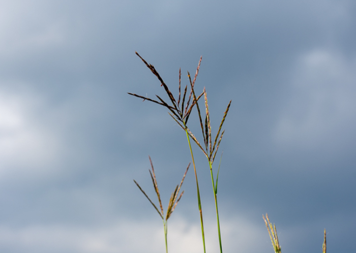Big Blue Stem Grass