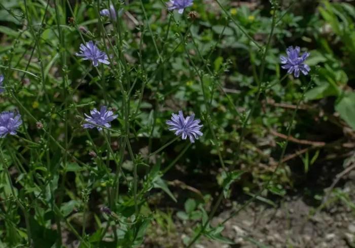 Chicory, Chicorium intybus, non-native