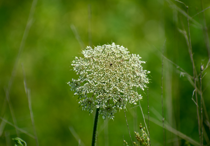 Queen Anne's Lace, Daucus carota, non-native