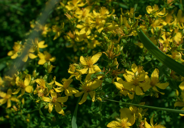 St. Johns Wort, Hypecurium sp._