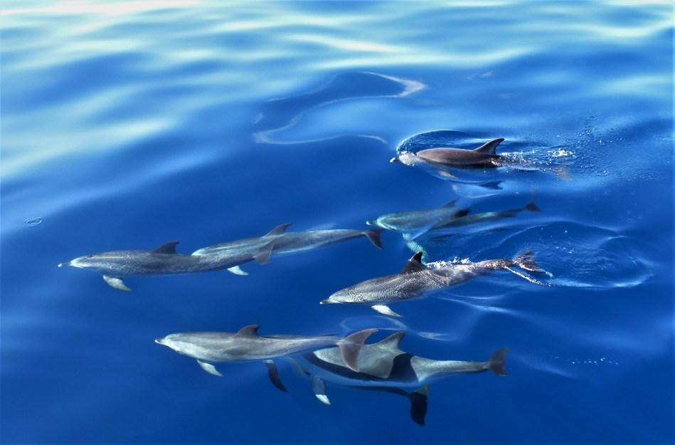Hier sehen wir eine Familie von gepunkteten Delfinen. Diese bewegen sich eigentlich immer in groesseren Gruppen. Hier auf Teneriffa können wir sie mehrmals im Winter beobachten.