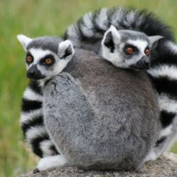 Lemurs are endemic to Madagascar. Image Source: Wikipedia Free Commons