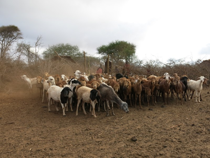 """Livestock gathers inside an enclosure called a """"boma,"""" which is designed to protect the animals from attack by predators, thereby sparing lions from retaliatory killings. More information is available at CauseAnUproar.org. Photo credit: © Daniel Stone and Spencer Millsap/National Geographic"""