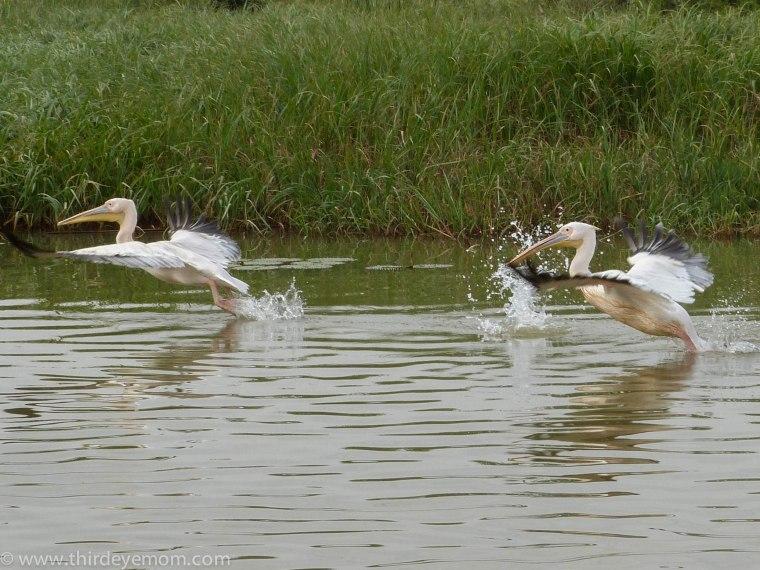 Pelicans on Lake Tana, Ethiopia