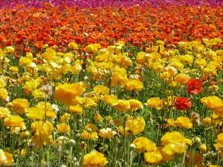 The Flower Fields San Diego CA