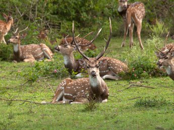 Chital stags close to Mangala Village (Photo credit: Nithila Baskaran)