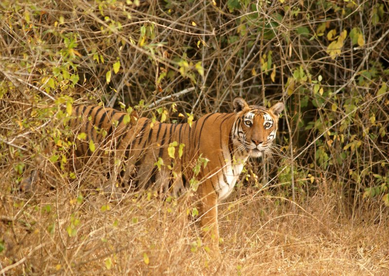 We took a drive after a day long workshop with the children and came across this Tigress quite close to the road. (Nithila Baskaran)
