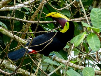 KKeel-Billed Toucan Cost Rica