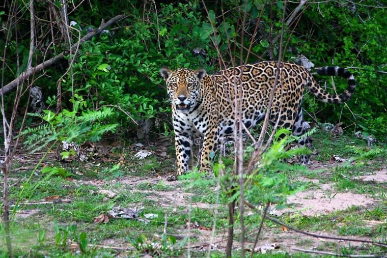 Natural Habitat Adventures Jaguar