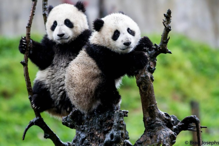 Natural Habitat Adventures Giant Pandas