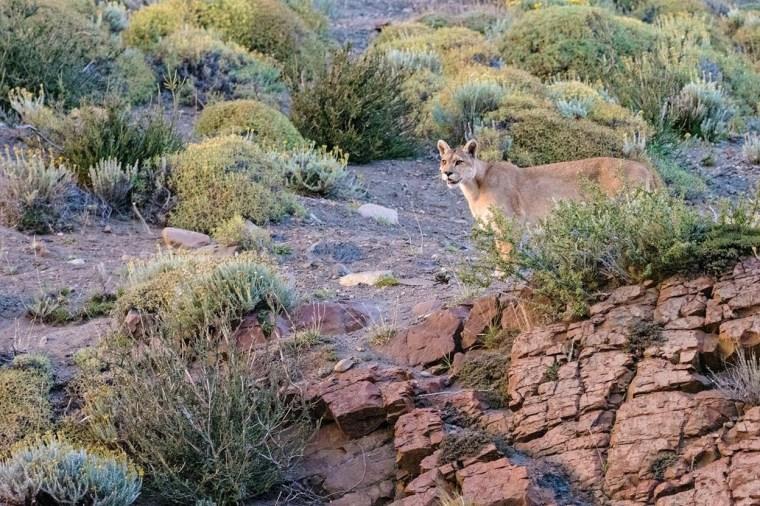 Natural Habitat Adventures Pumas