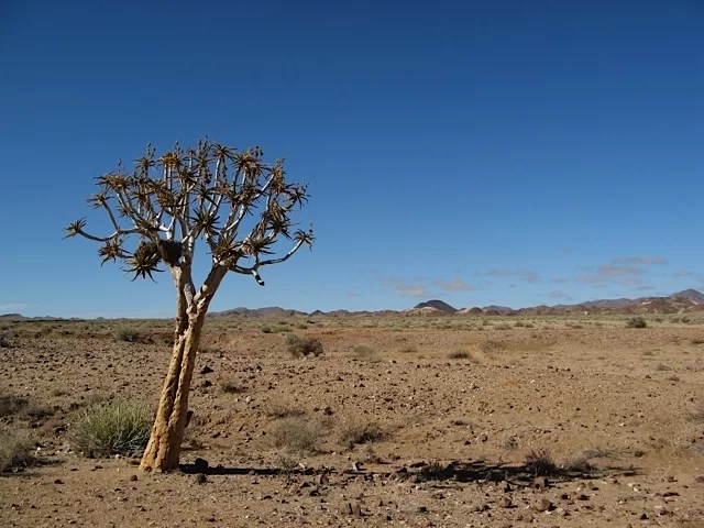 Quiver tree at Fish River Canyon