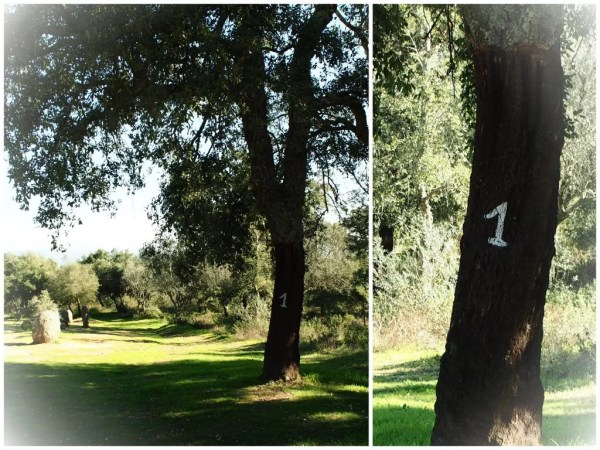 cork trees with numbers in Portugal