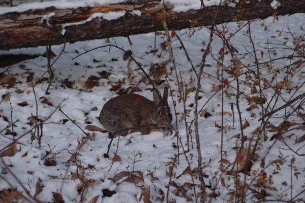 Rabbit in Canmore Alberta