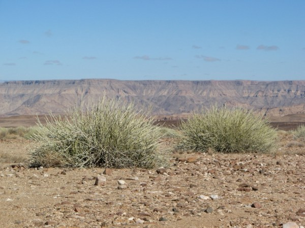 grassy tufts in Fish River Canyon