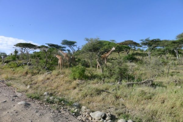 giraffes in Ngorongoro Conservation Area