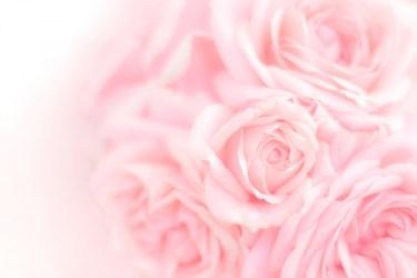 バラの消毒をするときの方法とは?ポイントや注意点を紹介します