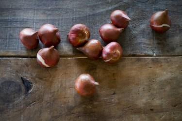 チューリップの球根の掘り上げ時期と寿命を延ばす保存方法