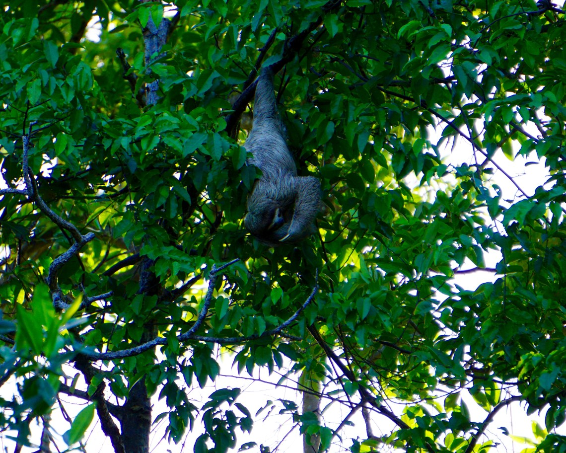 Sloth Sighting Bocas del Toro