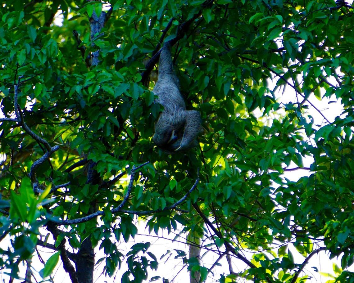 Sloth Sighting Bocas del Toro