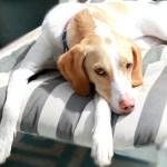 Skunk Bath Recipe for Dogs