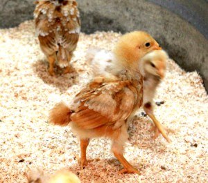 Tips for Raising Urban Chickens