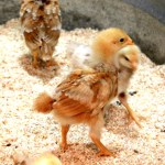 Tips for Raising Urban Chickens