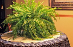 How to Care for Boston Ferns Indoors & Out