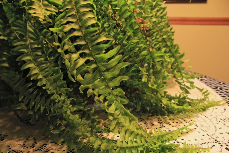 How to Care for a Boston Fern Indoors