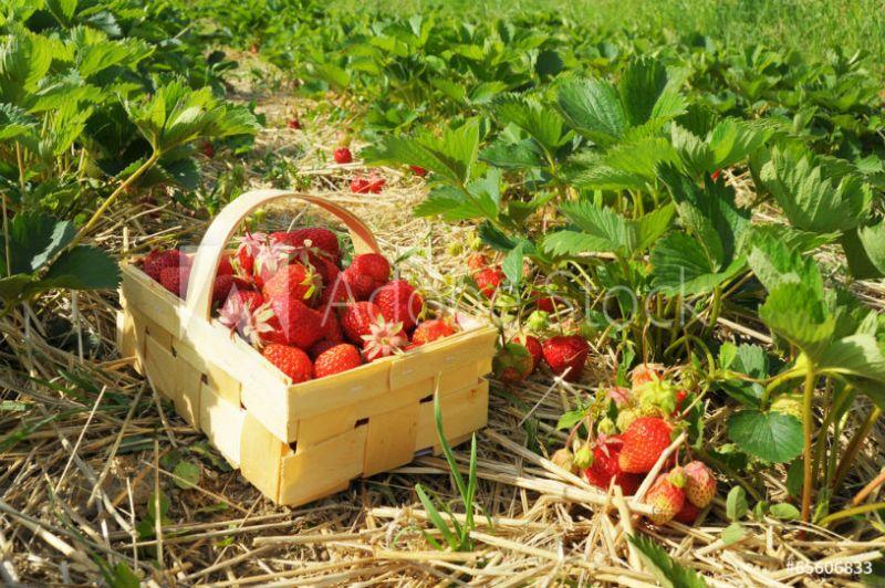 Strawberry picking near Bristol