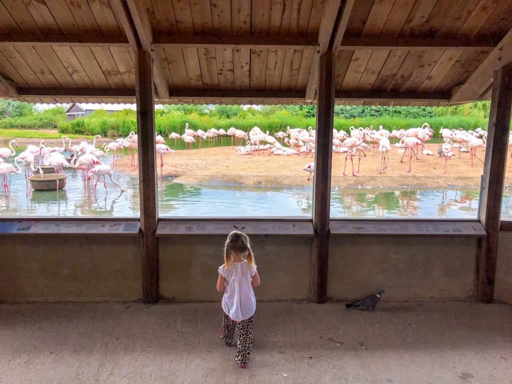 WWT Slimbridge flamingoes