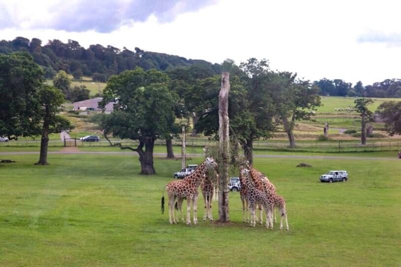 Longleat safari park giraffes