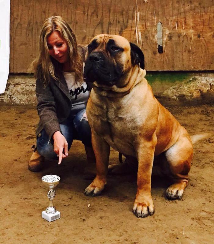 Borboel Boerboel Dog