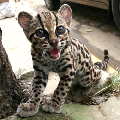 margay-tiger-cat